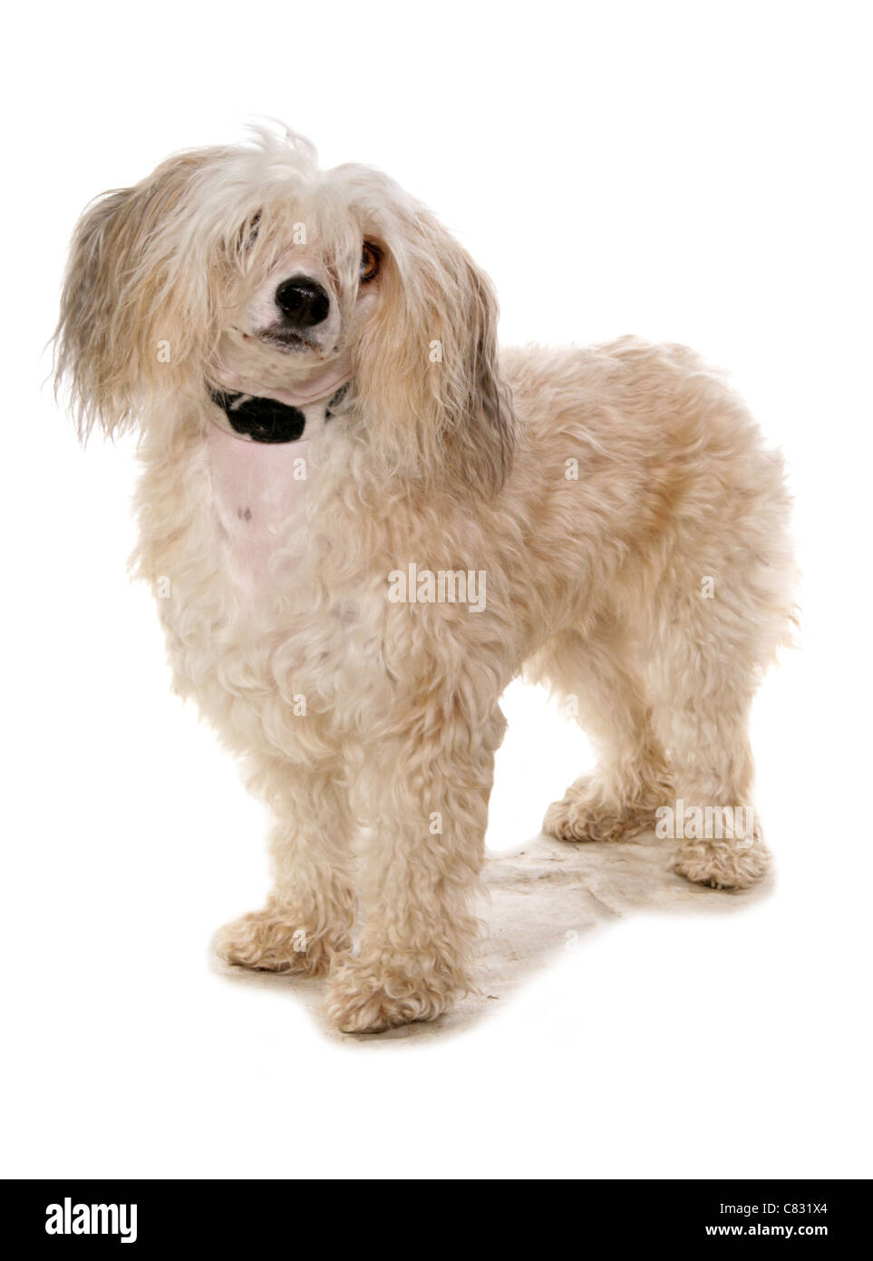 Chinese crested powder puff Single adult in a studio UK - Stock Image