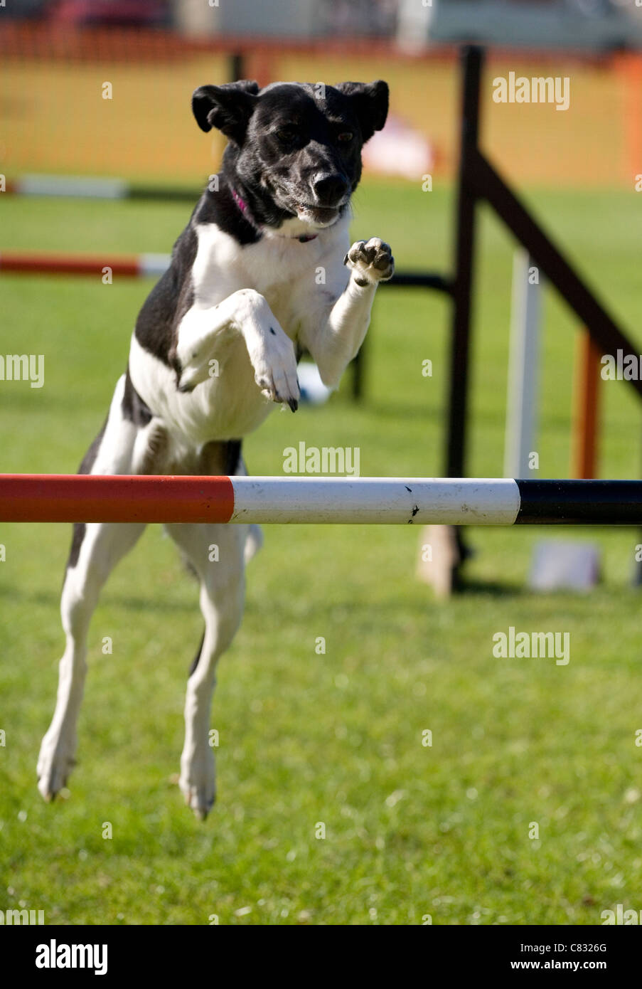 Domestic dog Single adult jumping hurdle UK - Stock Image
