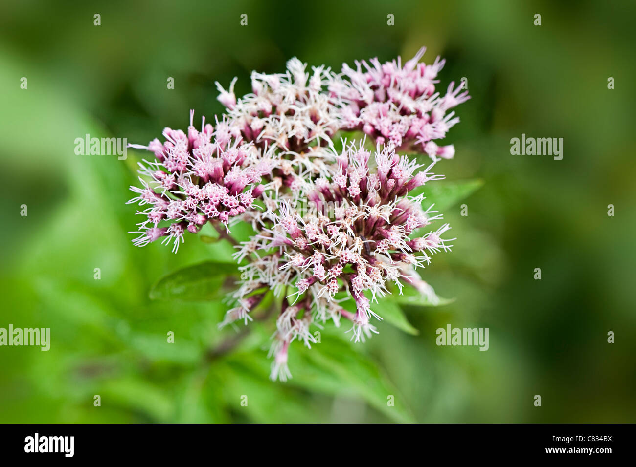 Close-up, macro image of the delicate pink flowers of Eupatorium cannabinum commonly known as Hemp Agrimony or holy - Stock Image