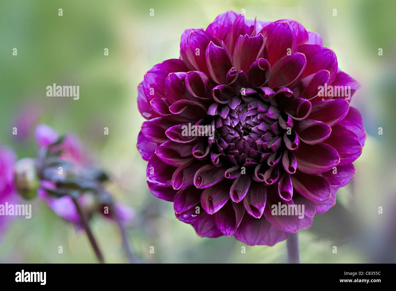 Purple Chrysanthemum flower - Stock Image