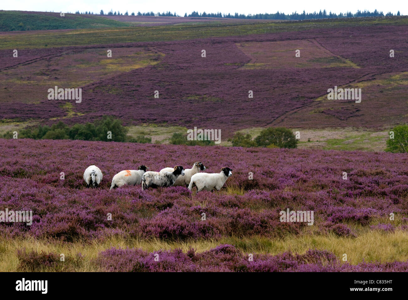 Hill sheep.Upland farming.hill farming.Agriculture.meat industry. - Stock Image