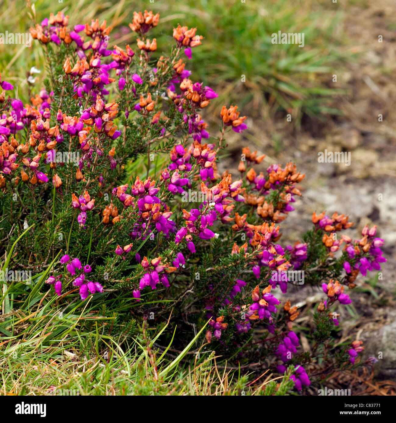Heather, (Calluna vulgarisclose) up picture in bloom. - Stock Image