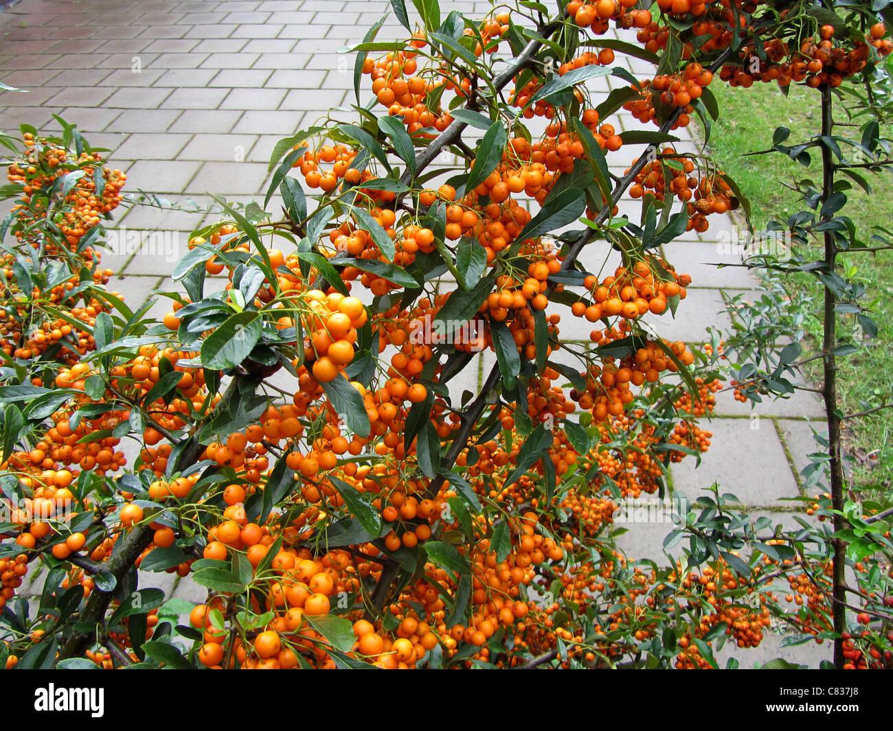 Firethorn (Pyracantha coccinea) full of orange berries, Alblasserdam, Holland Stock Photo