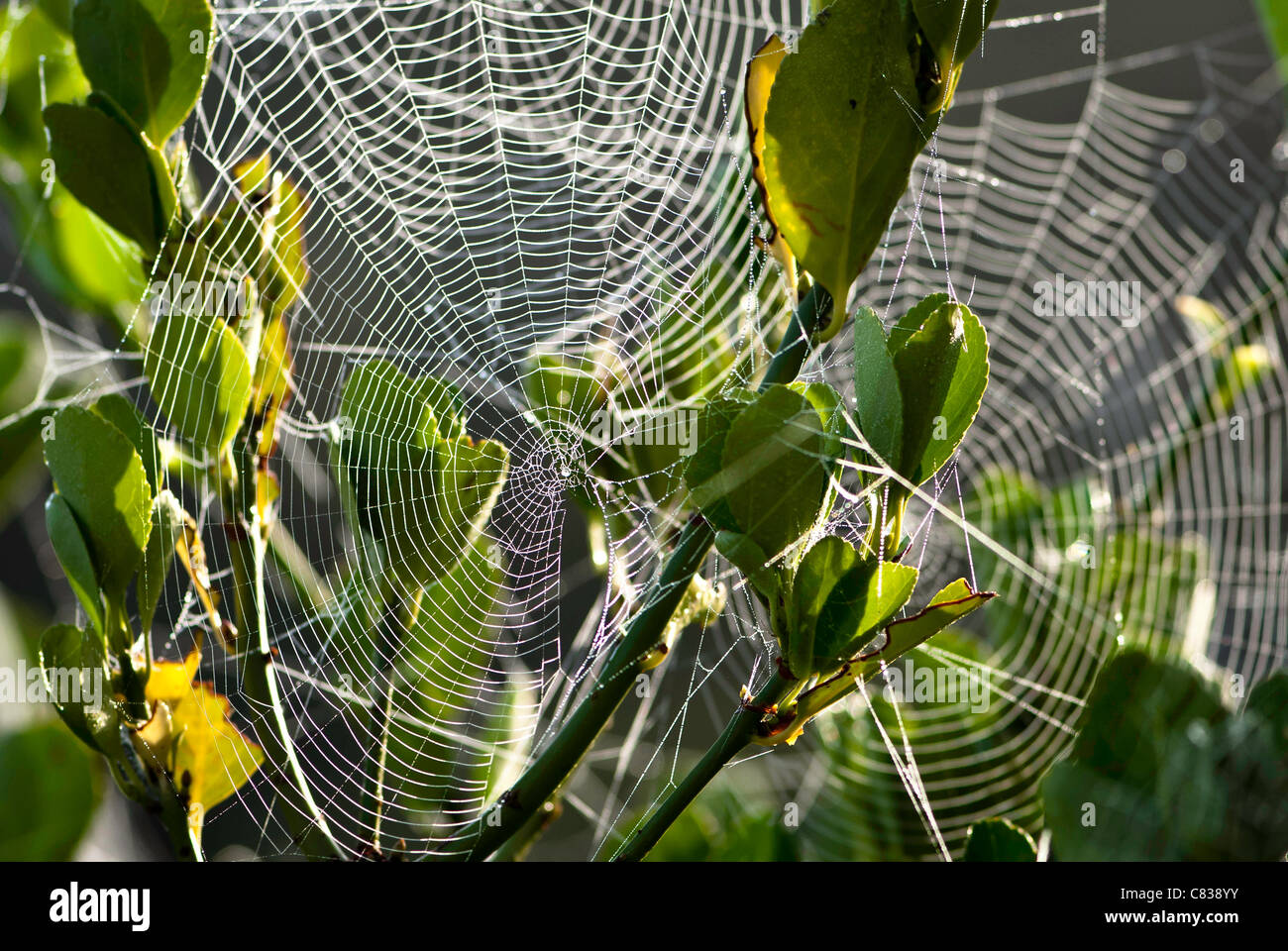 Spiders webs with dew on plant. - Stock Image