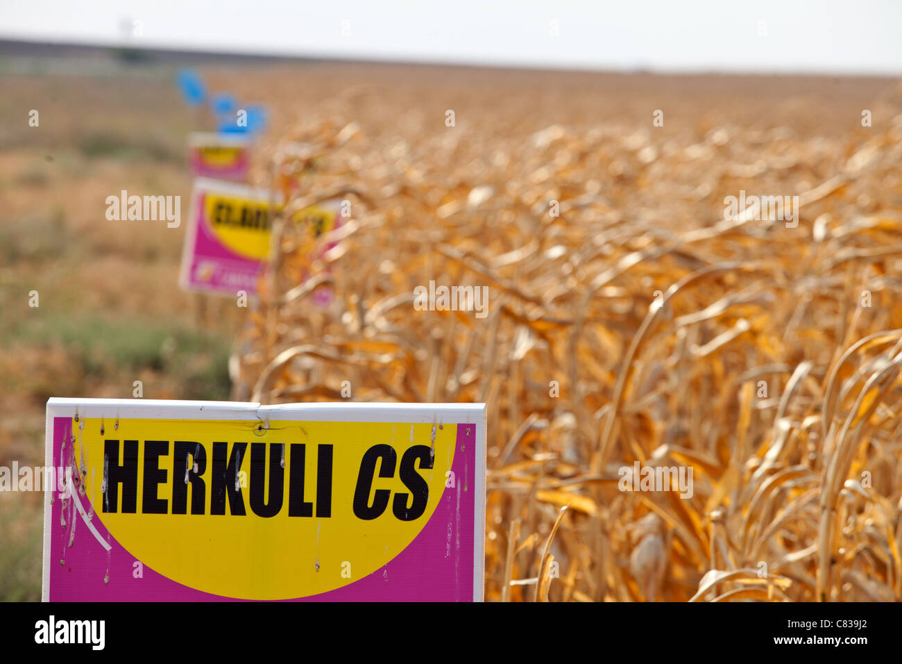 Genetically modified crops in Romania - Stock Image