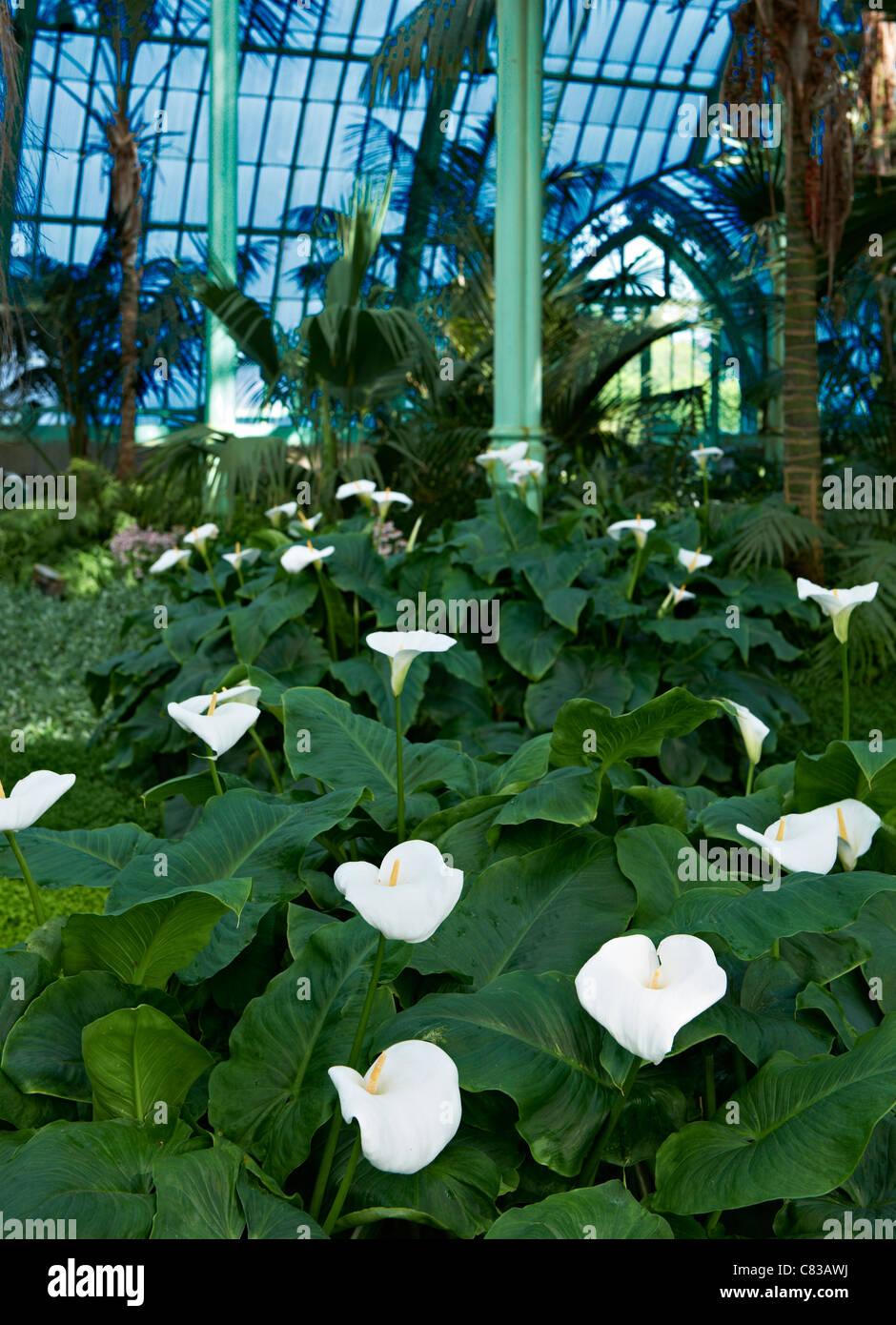 Arum or calla lilies, Zantedeschia aethiopica, Royal Greenhouses of Laeken, Royal Castle of Laeken, Brussels, Belgium, - Stock Image
