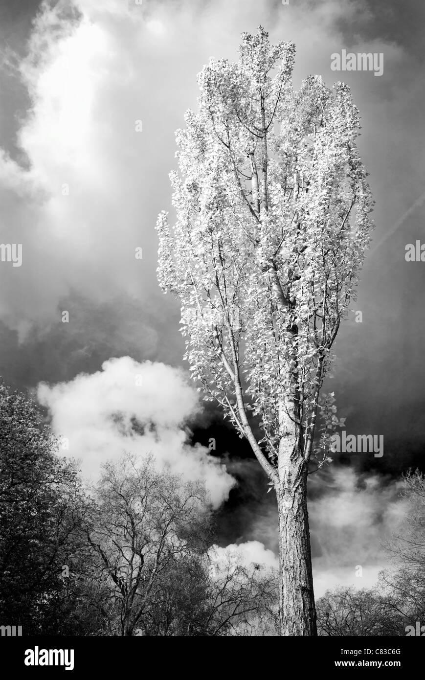 A poplar tree against a dramatic sky, London, UK. - Stock Image