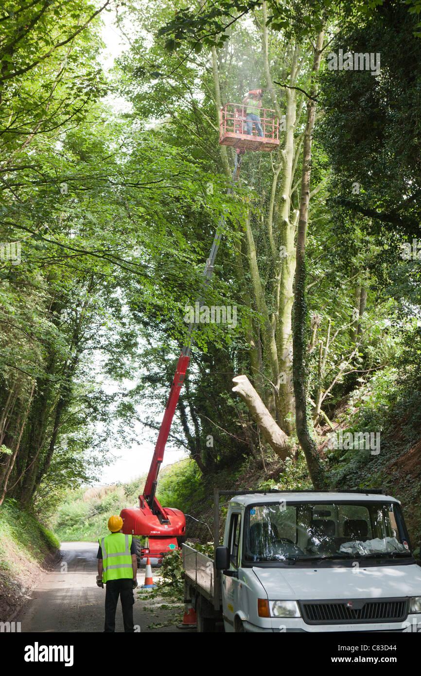 A tree surgeon felling trees via a cherry picker in a deep narrow lane at Irthington, Cumbria - Stock Image