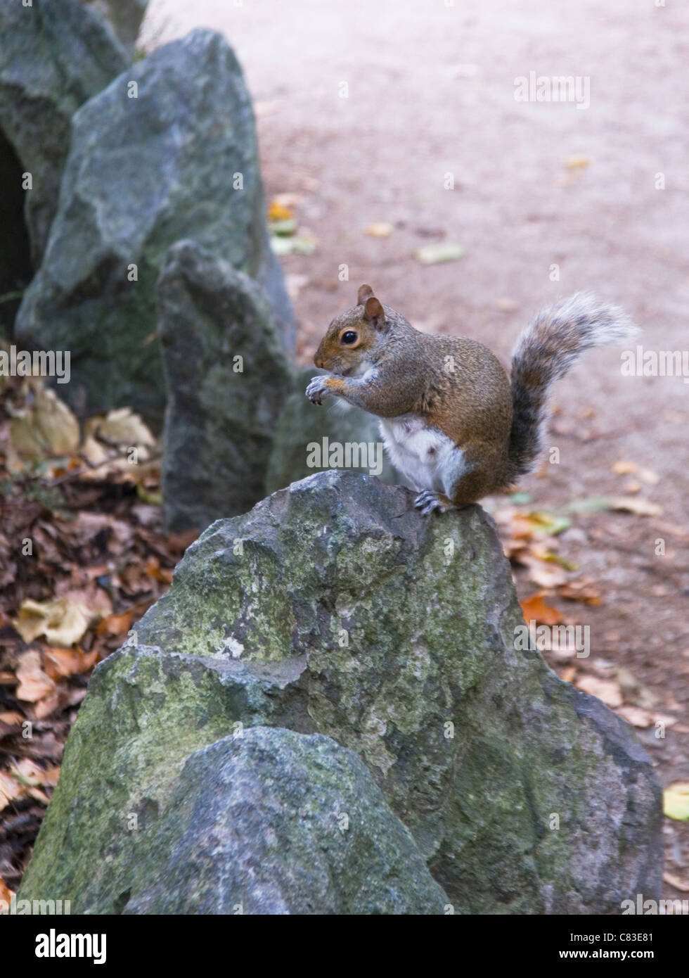 grey squirrel sitting on a rock in autumn - Stock Image