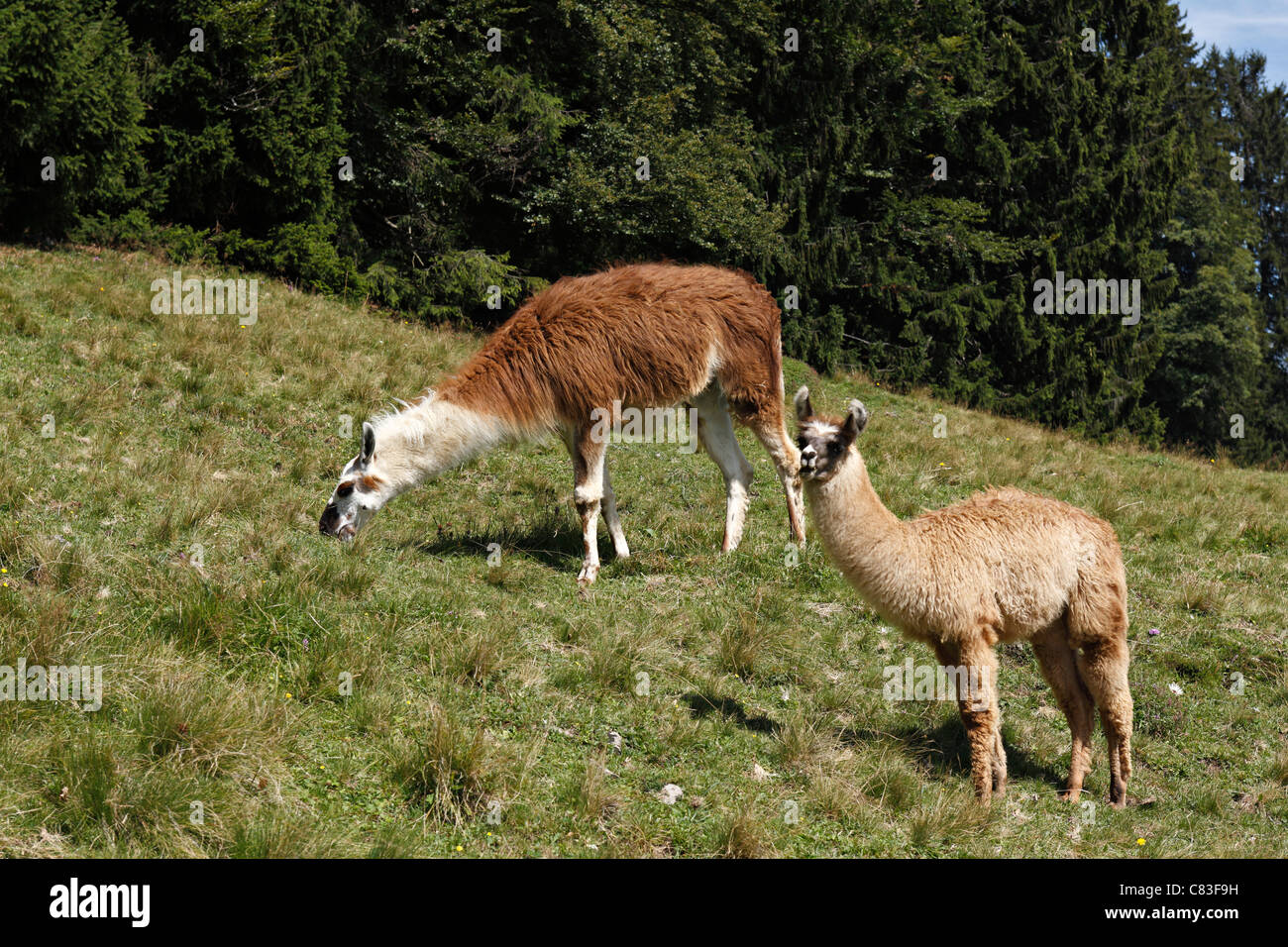 Alpacas ( Lama pacos ) in the Taubensee Alps, Chiemgau Upper Bavaria Germany - Stock Image