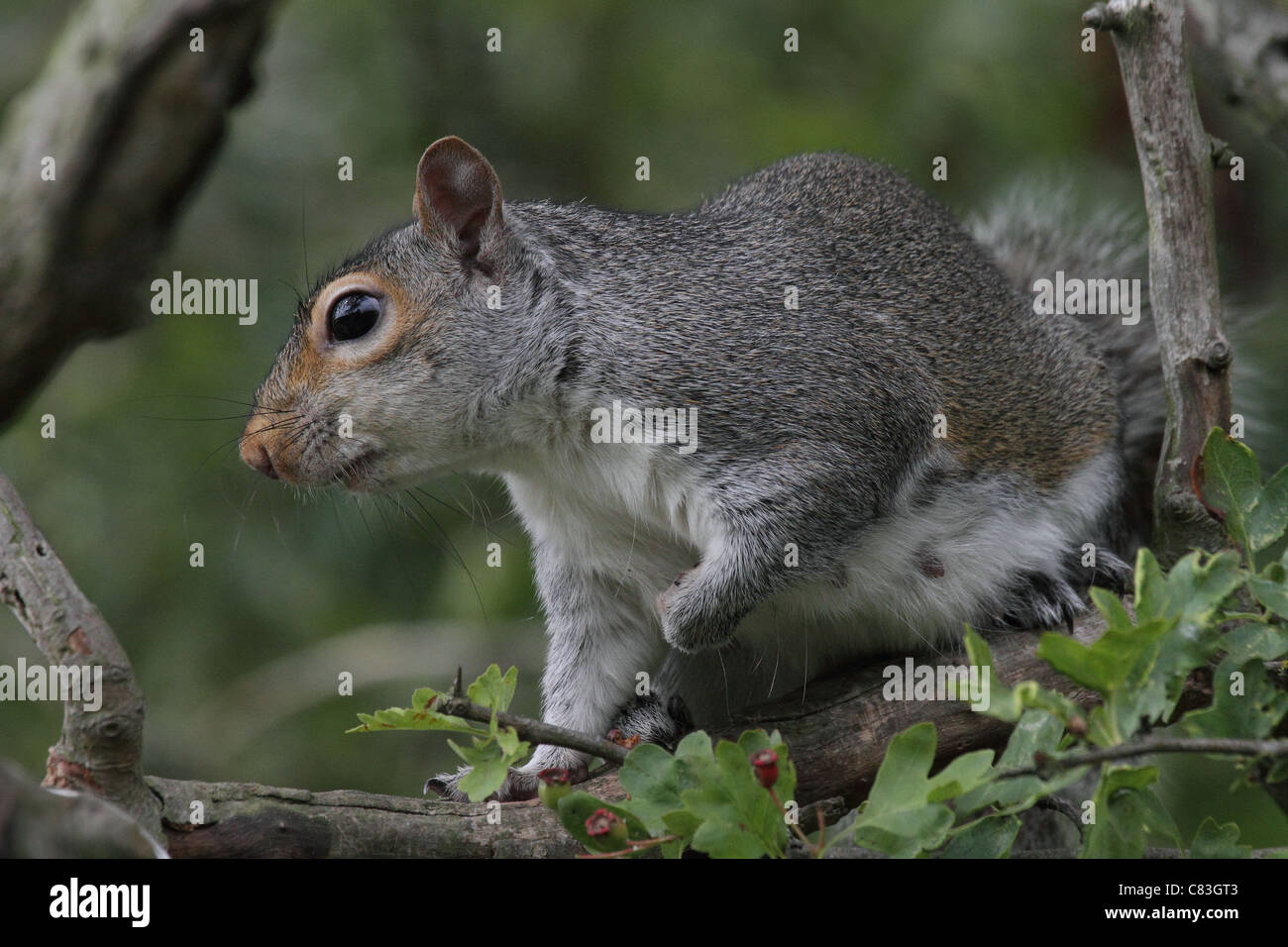 gray Squirrel up close detailed - Stock Image