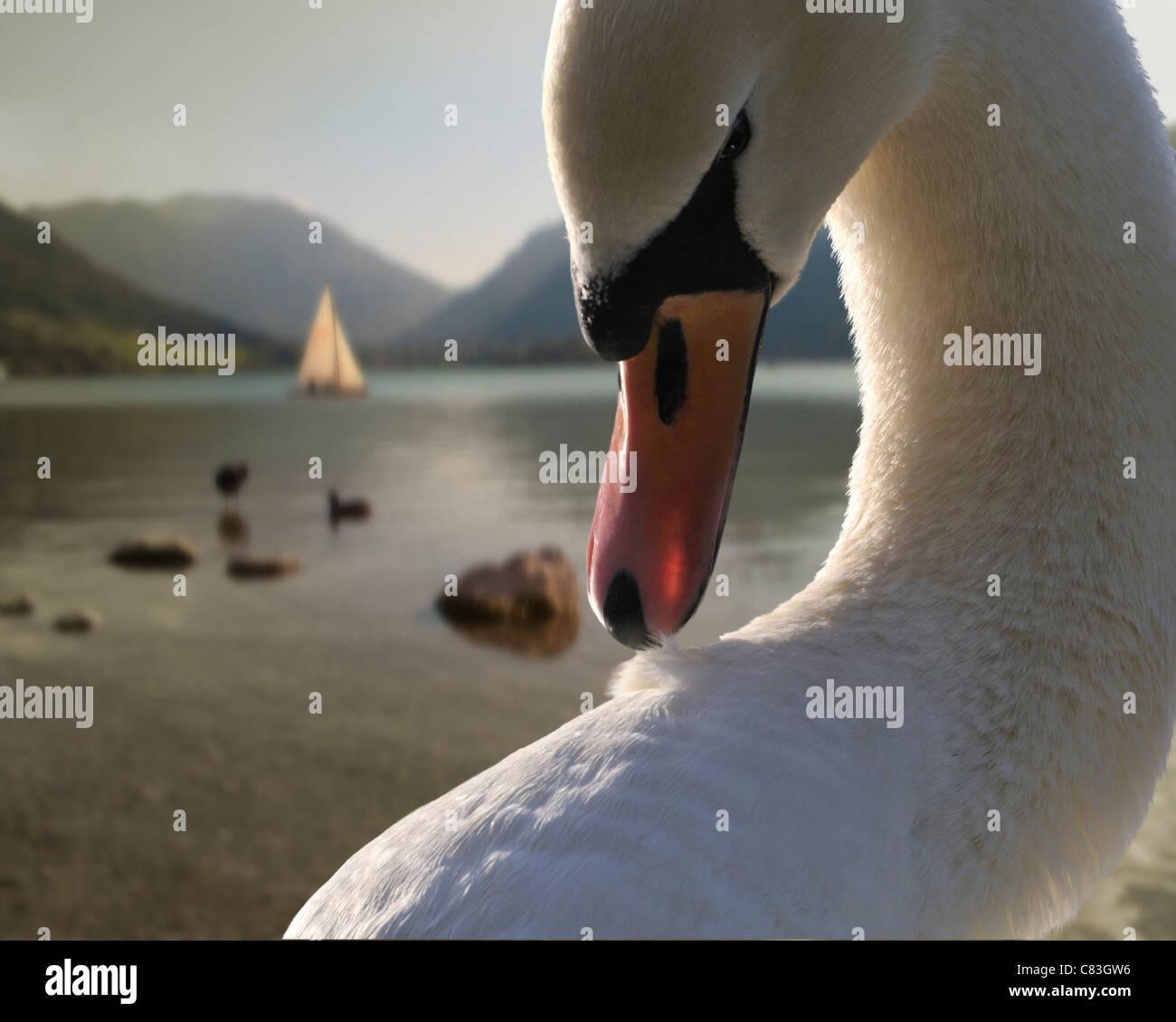 DE - BAVARIA: Swan at Lake Schliersee - Stock Image