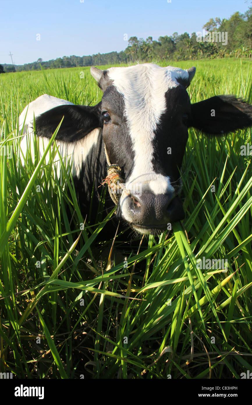 Black White Jersey Cow Stock Photos Black White Jersey Cow Stock