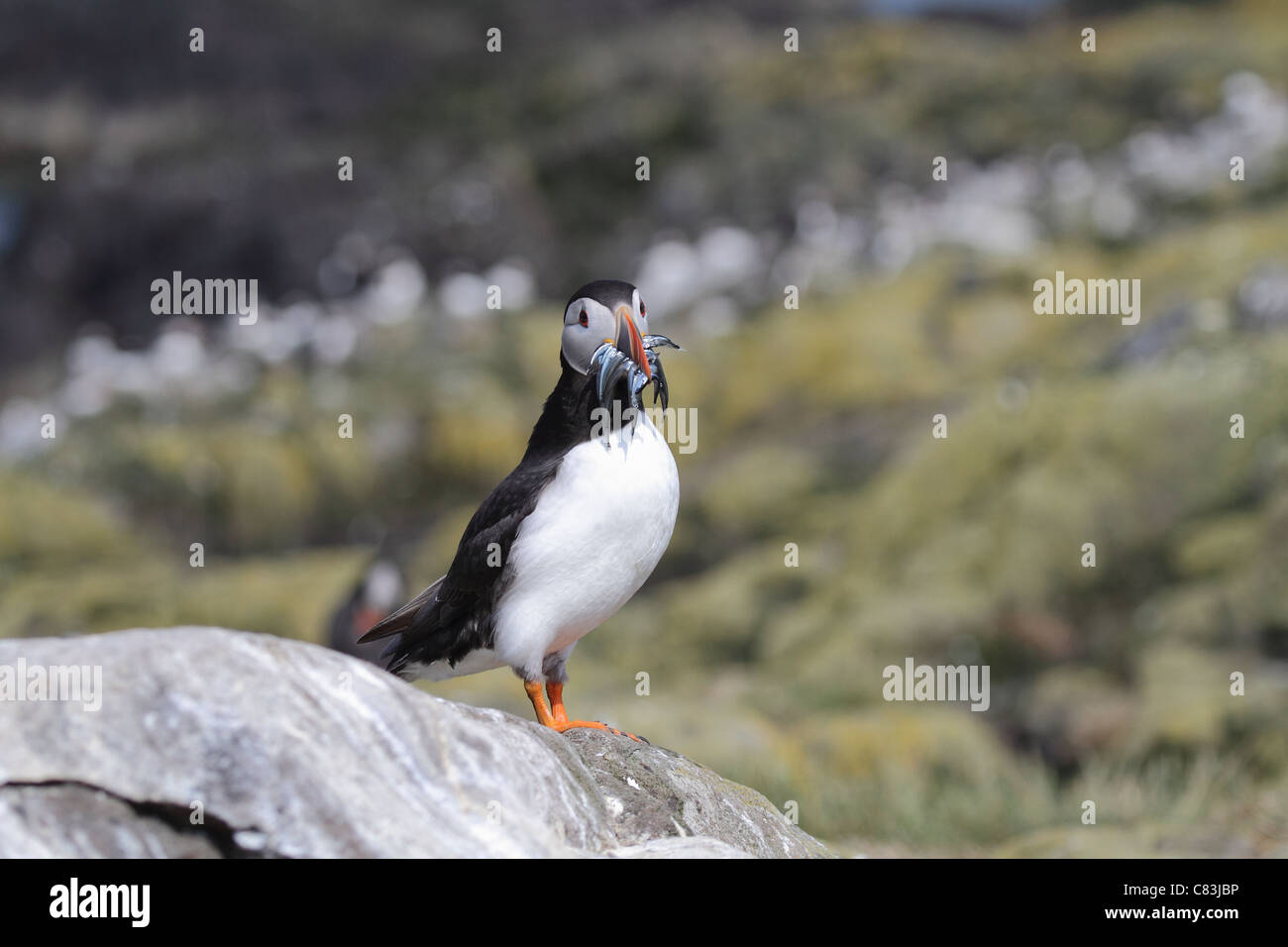 puffin portrait with sand eels in beak Stock Photo