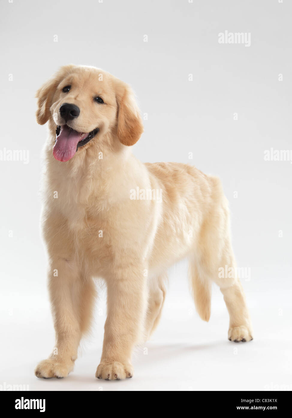 Portrait of a Golden Retriever 4 month old female puppy isolated on white background - Stock Image