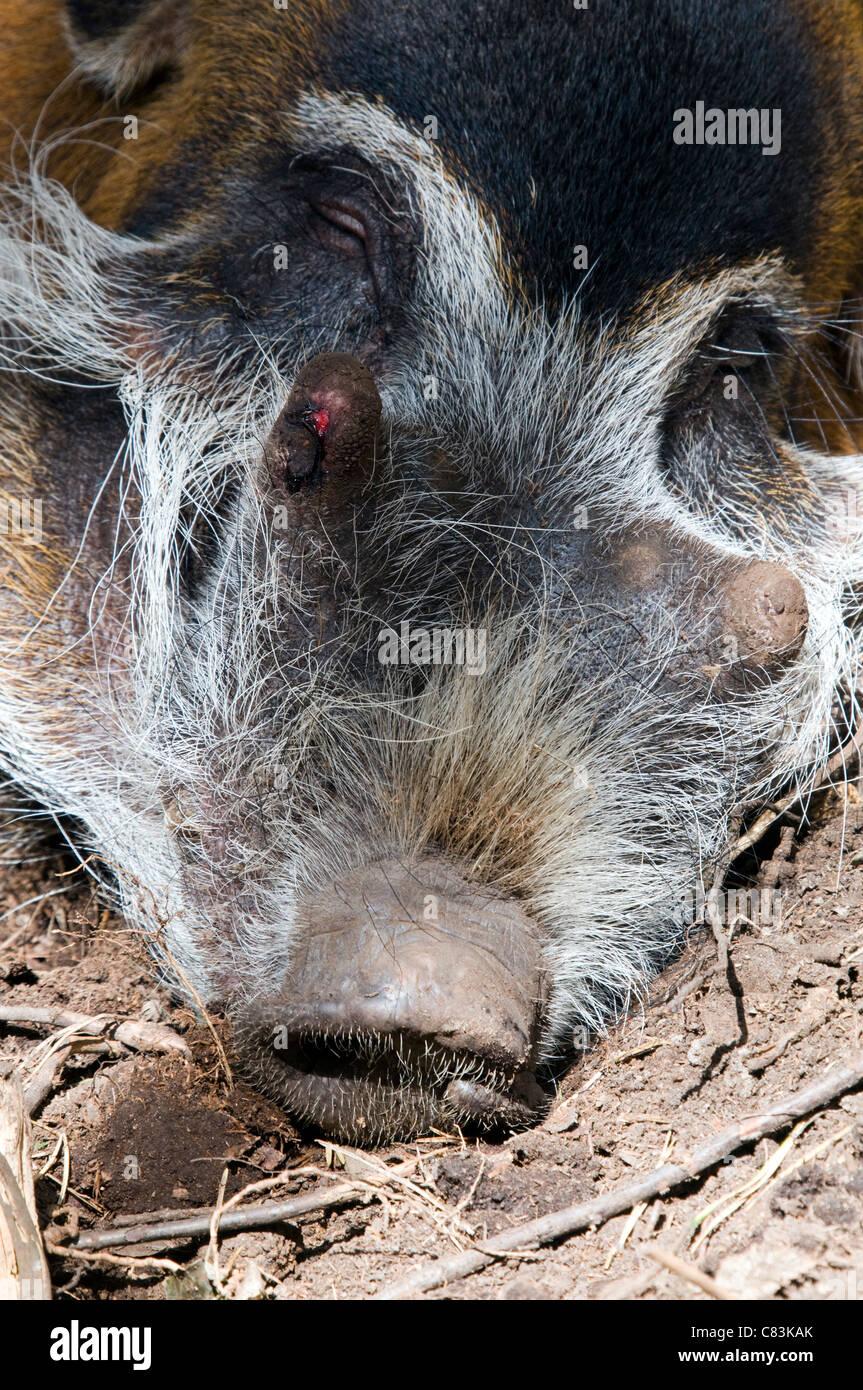 A Sleeping Red River Hog - (Potamochoerus porcus) - Stock Image