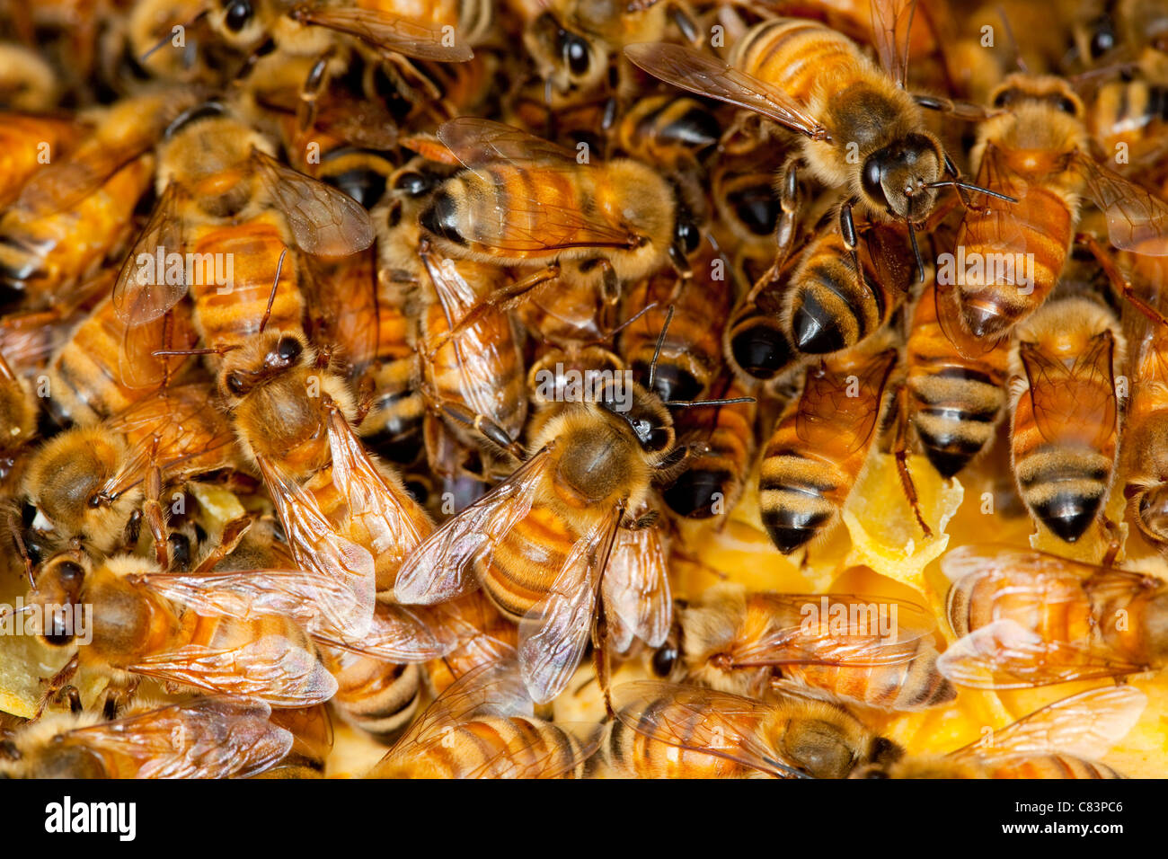 A colony of honey bees. - Stock Image
