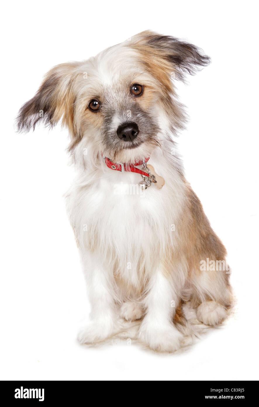 Chinese Crested dog (Powder Puff) - puppy - sitting - Stock Image