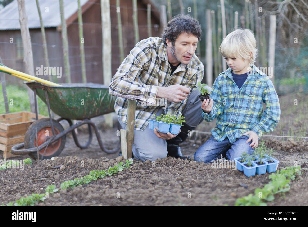 Father and son planting in rows - Stock Image