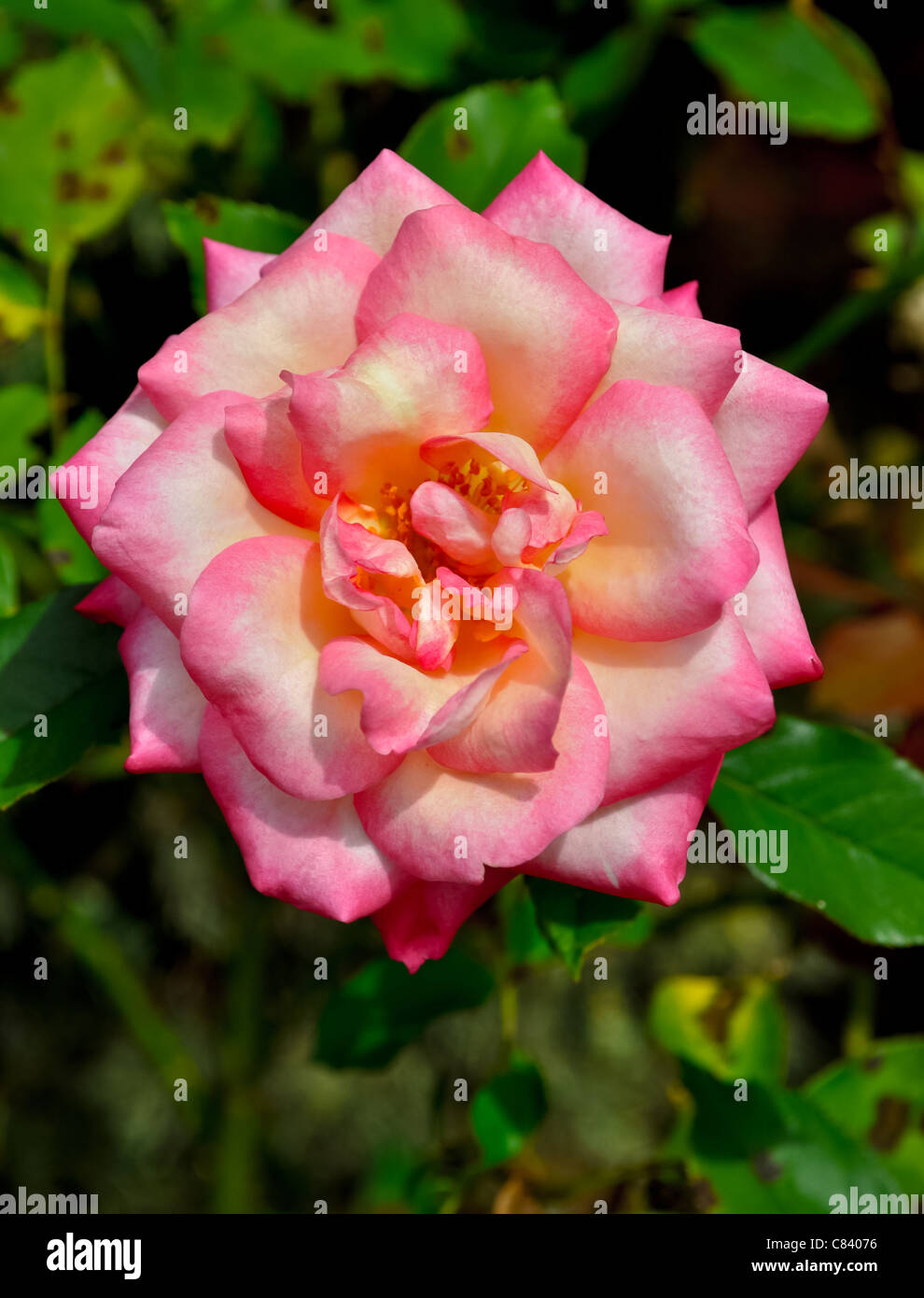 Rose Belle Stock Photos & Rose Belle Stock Images - Alamy