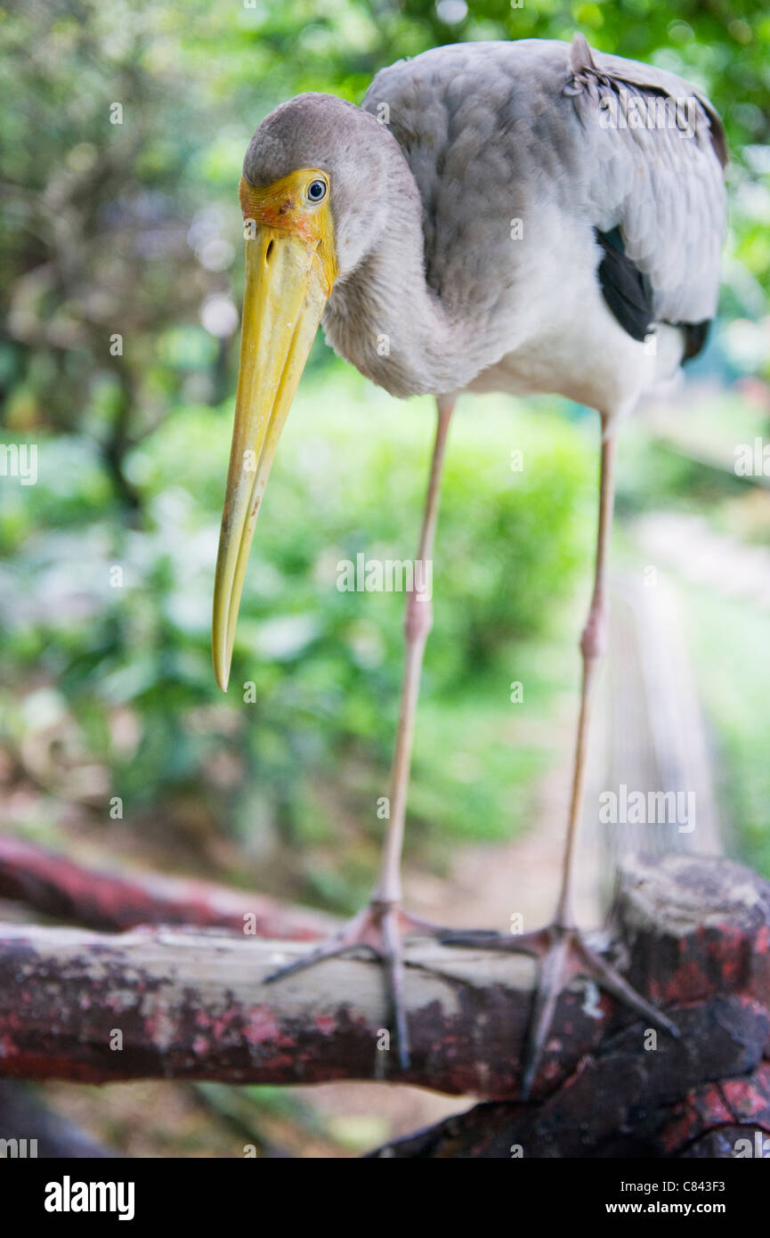 Stork, KL Bird Park, Kuala Lumpur, Malaysia, South East Asia Stock Photo