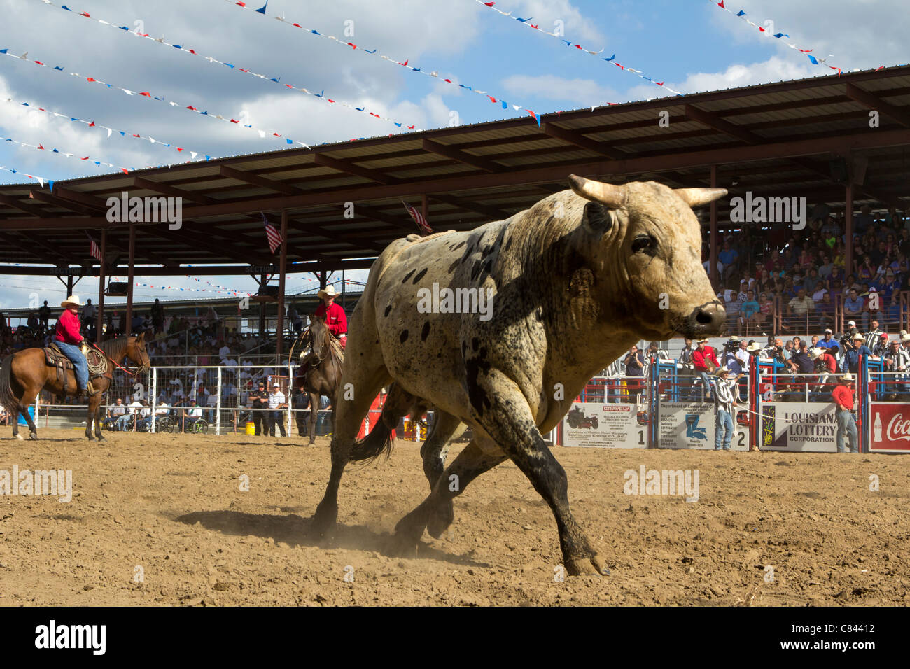 Cattle at the Angola State Prison Rodeo in Louisiana State Penitentiary - Stock Image