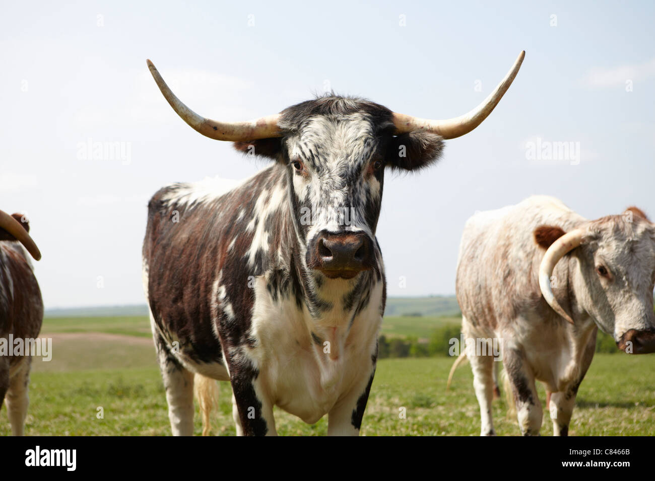 Longhorn cattle walking in field - Stock Image
