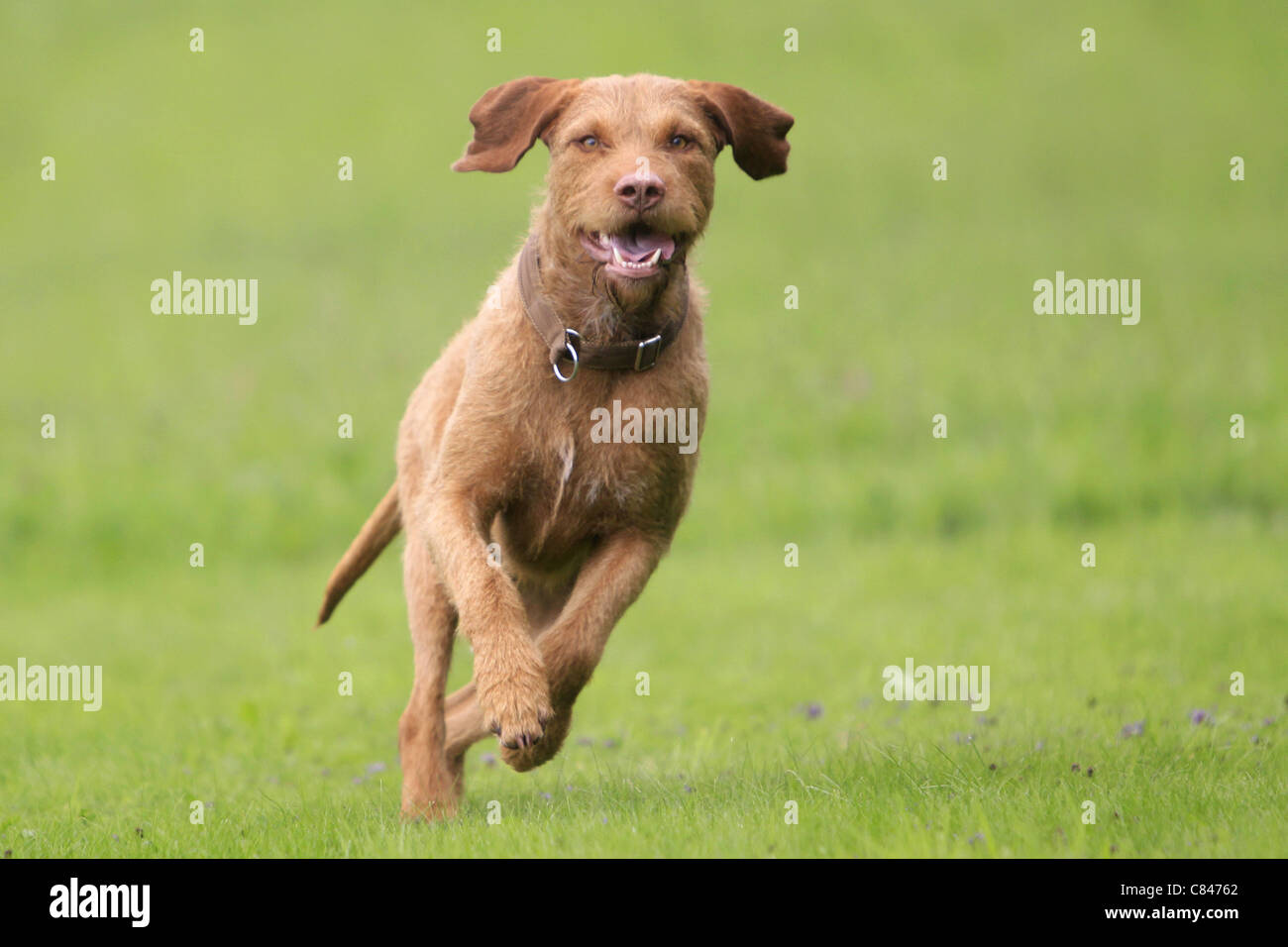 Wirehaired Magyar Vizsla dog - running on meadow - Stock Image
