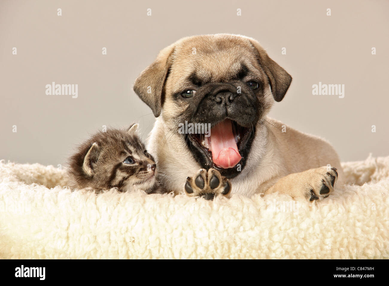 animal friendship : kitten and pug puppy - Stock Image
