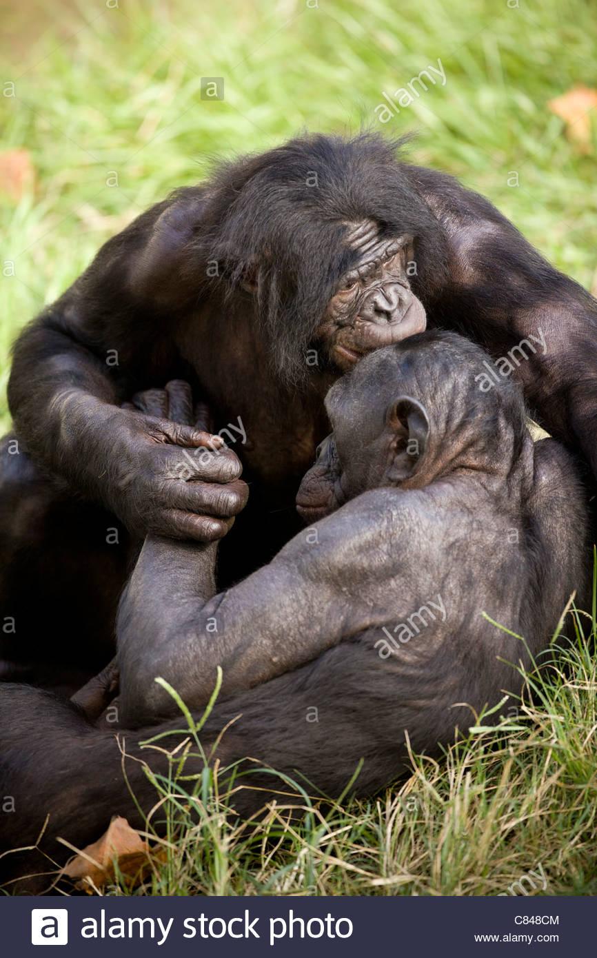 Bonobo, Jacksonville Zoo, Florida - Stock Image