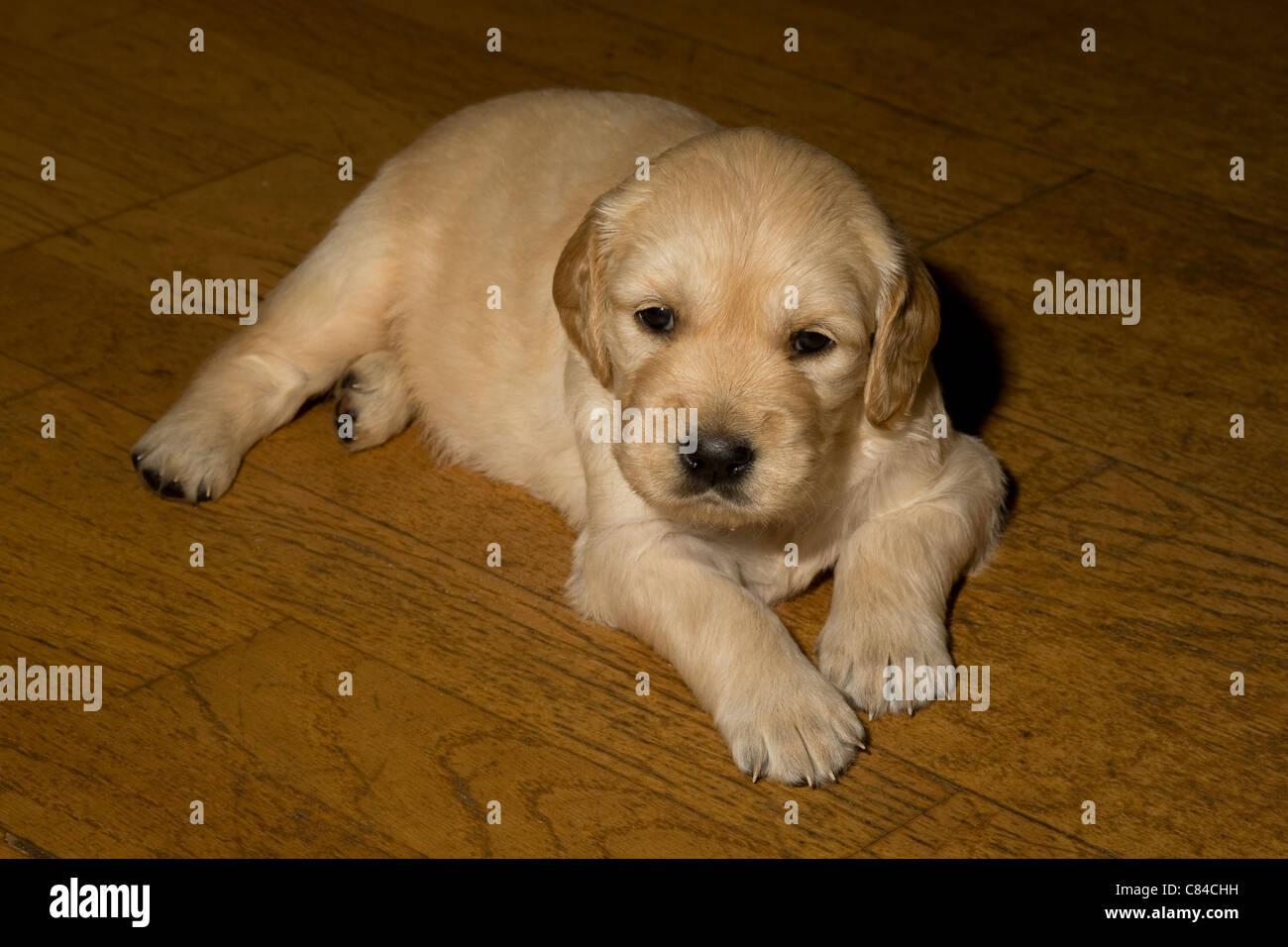 Golden Retriever Female Puppy Weeks Stock Photos Golden Retriever