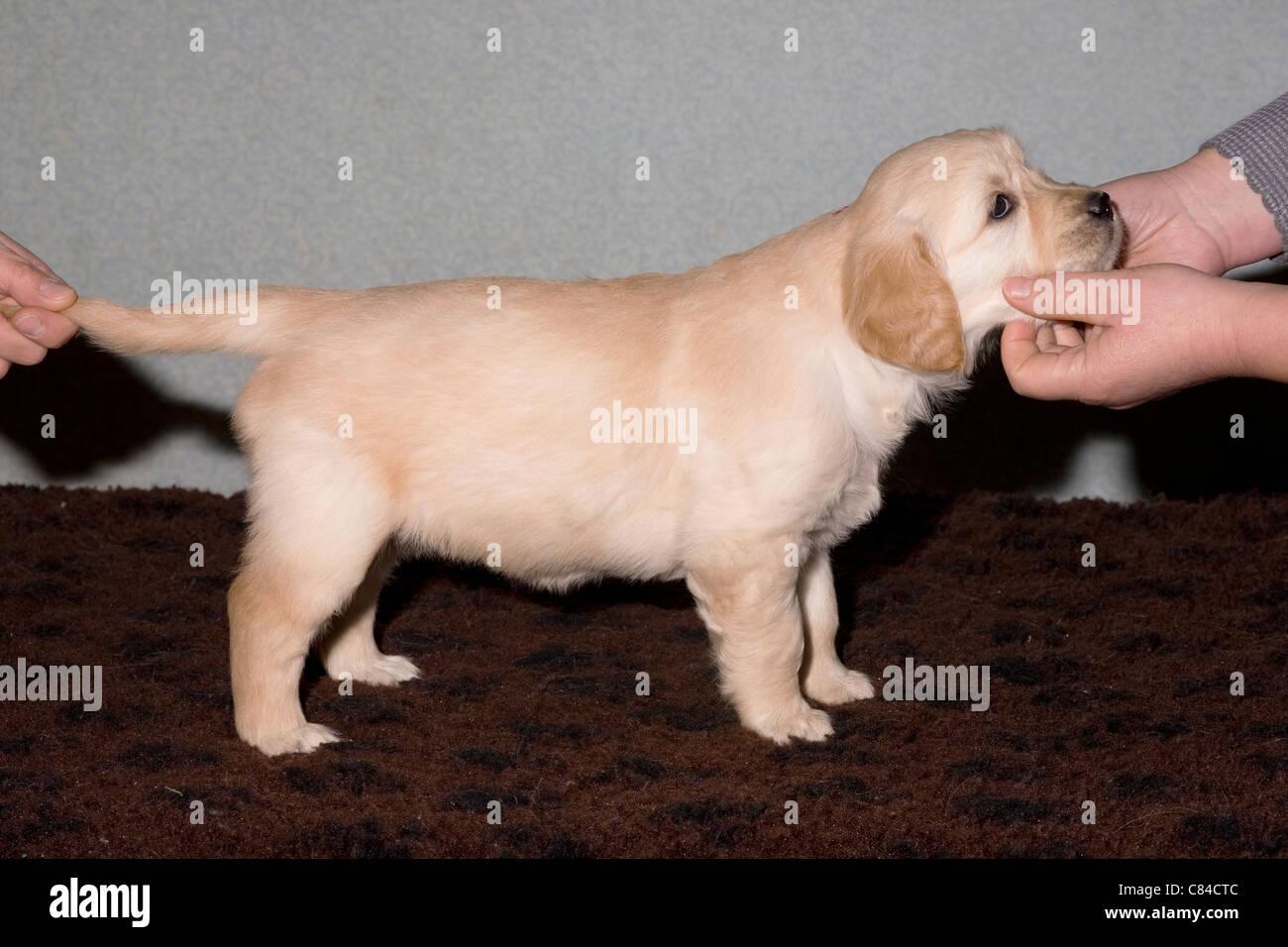 Golden Retriever Female Puppy 6 Weeks Old Ella Phoebe Yorkbeach