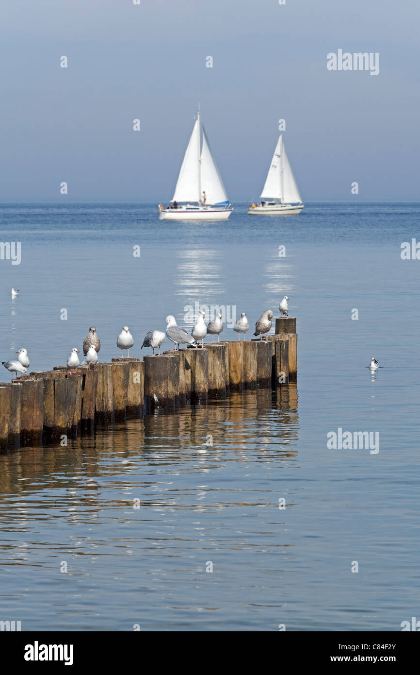 seagulls on a groin and sailing boats, Kuehlungsborn, Baltic Sea, Mecklenburg-West Pomerania, Germany - Stock Image