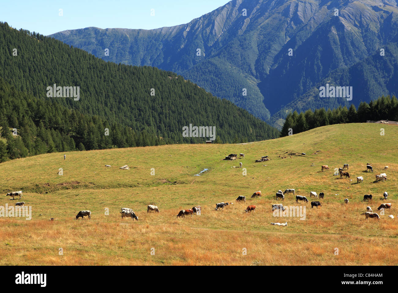 Herd of cows on alpine pasture among mountains in Alps, northern Italy. Stock Photo