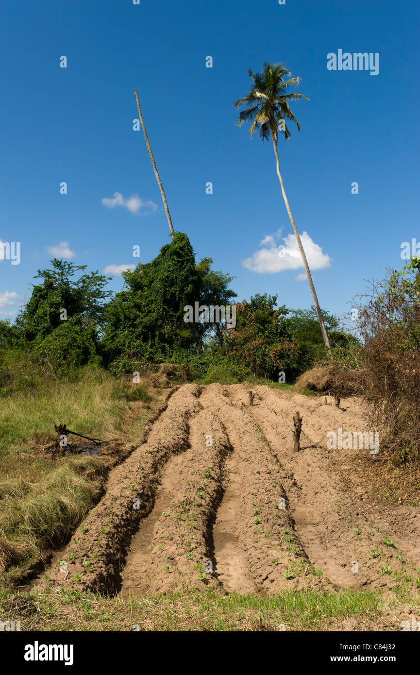 Smallholder farm - land cleared and planted with cassava and beans on ridges, Quelimane, Mozambique - Stock Image
