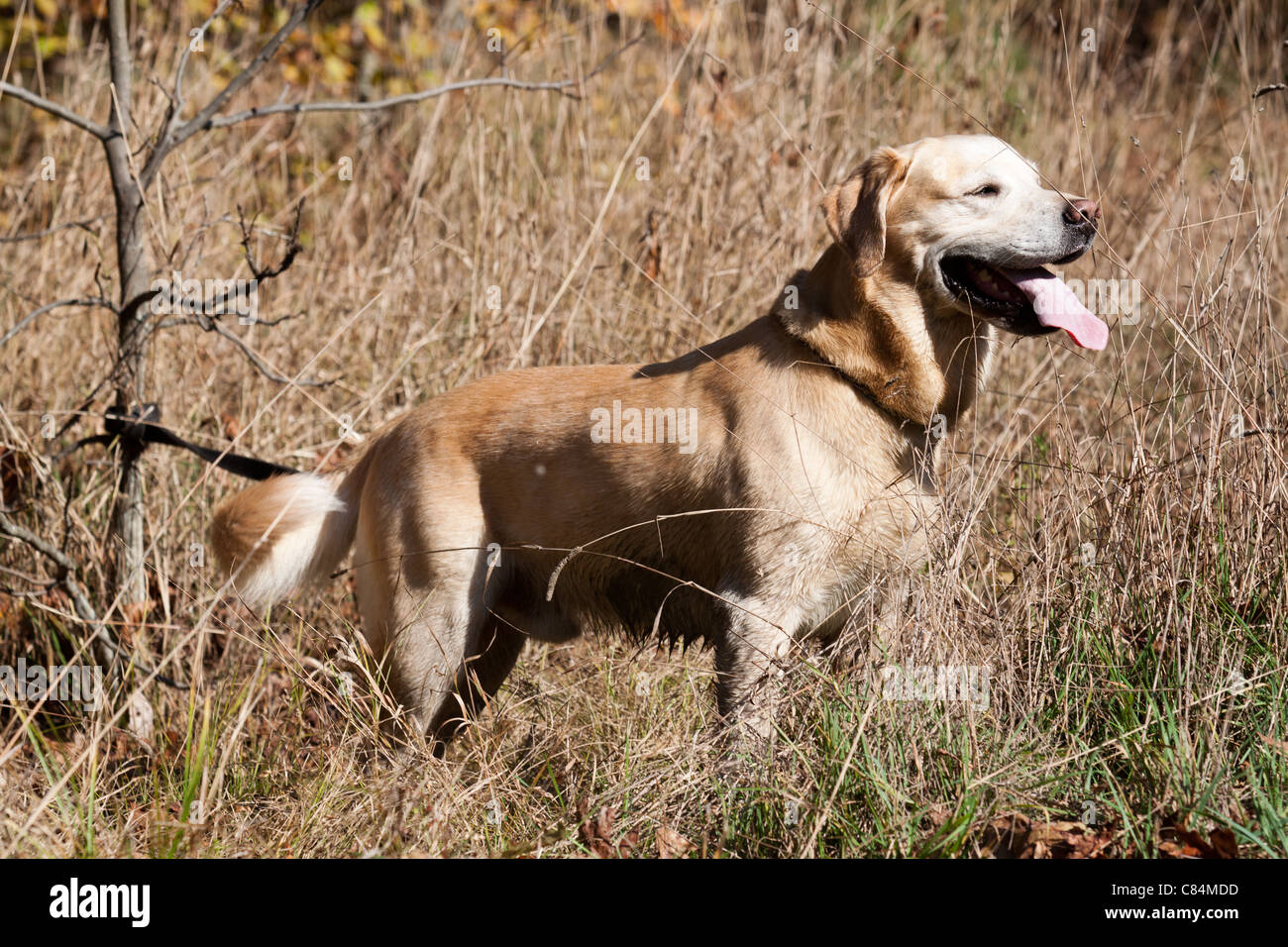 Golden Retriever profile in a field of dry grass with tongue out - Stock Image