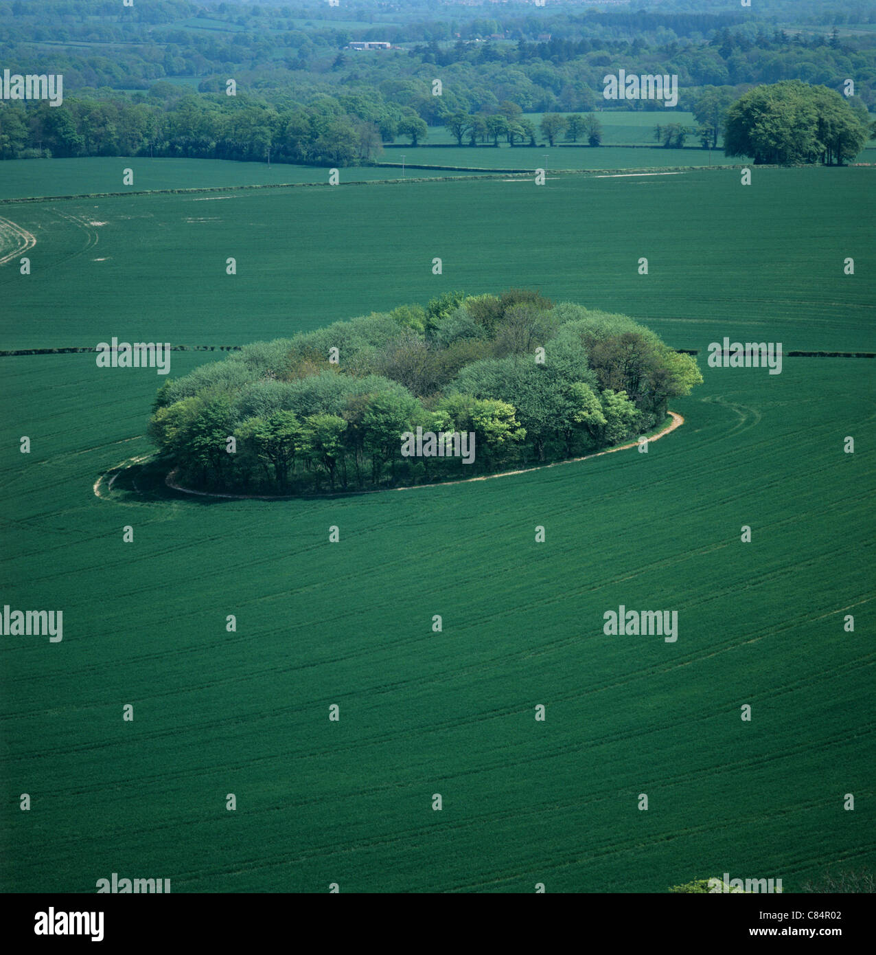 View looking down on an immature wheat crop with circular copse of trees - Stock Image