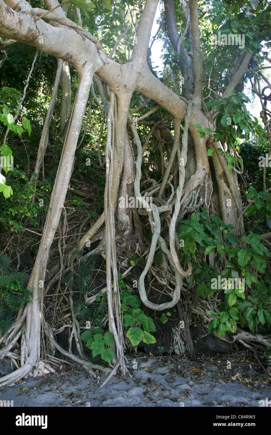 Madagascar lianas tree Nosy Tany Kely isle near Nosy Be Africa - Stock Image
