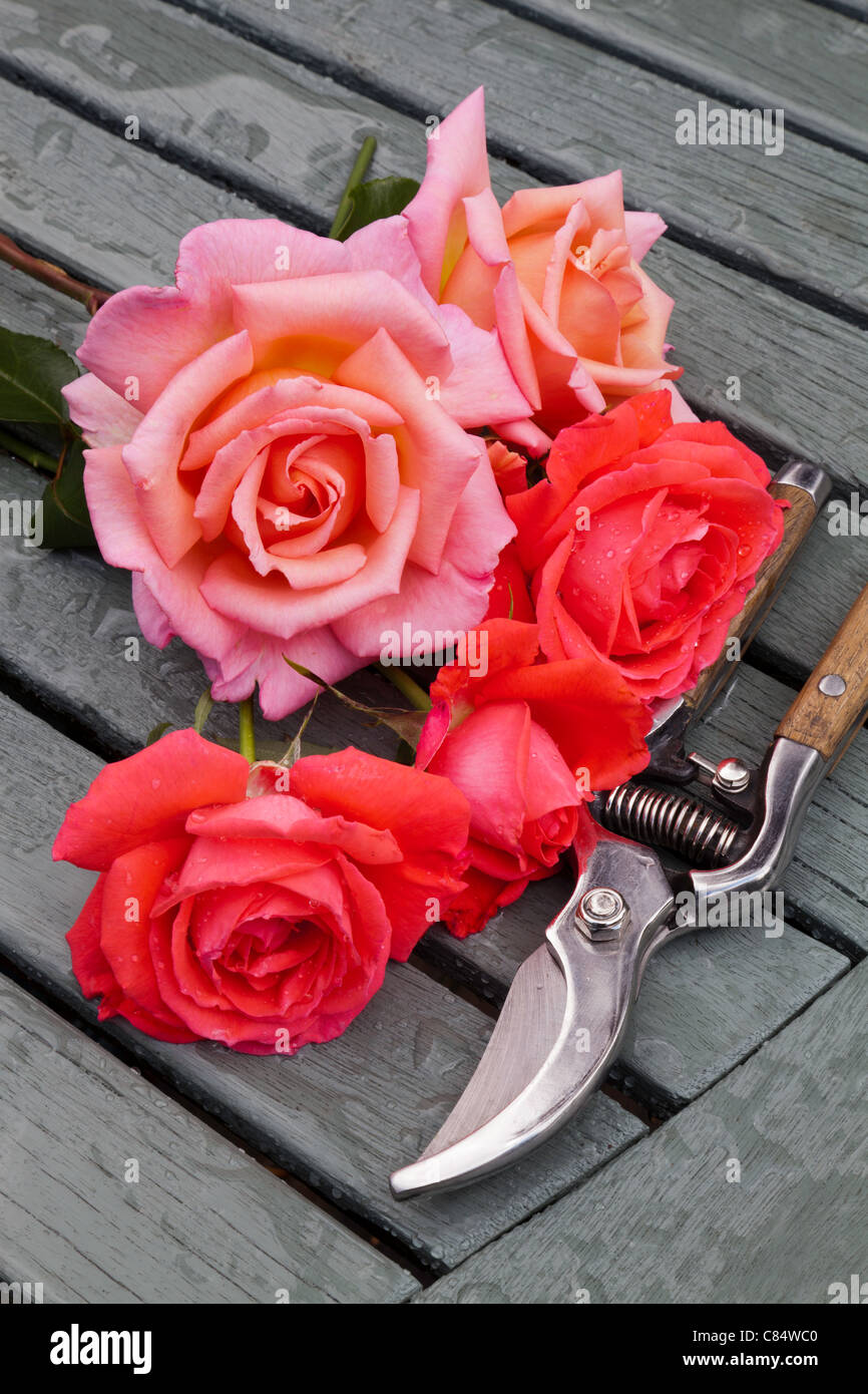 ROSES AND SECATEURS ON WOODEN SLATTED TABLE IN GARDEN UK Stock Photo