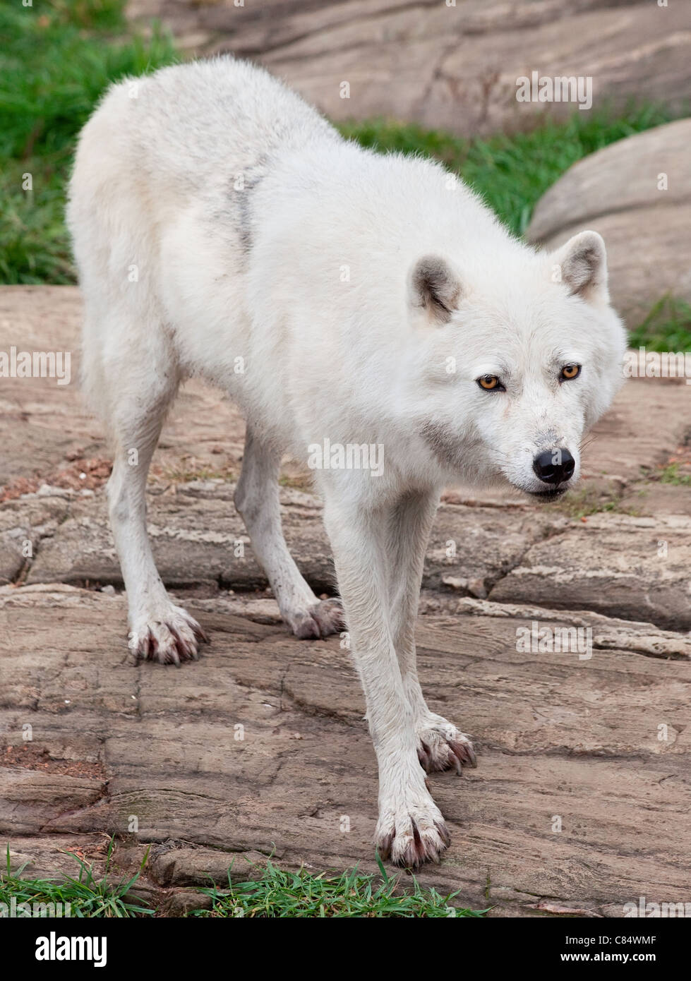 An arctic wolf is standing on rocks. - Stock Image