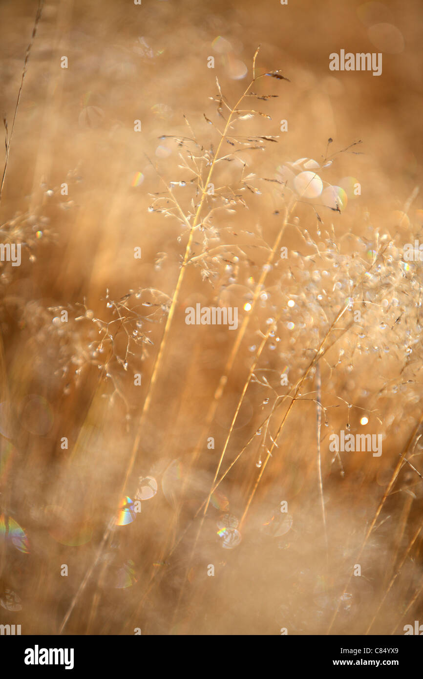 Sunlight glistens on the dew-covered grasses in Arthur's Pass, New Zealand - Stock Image