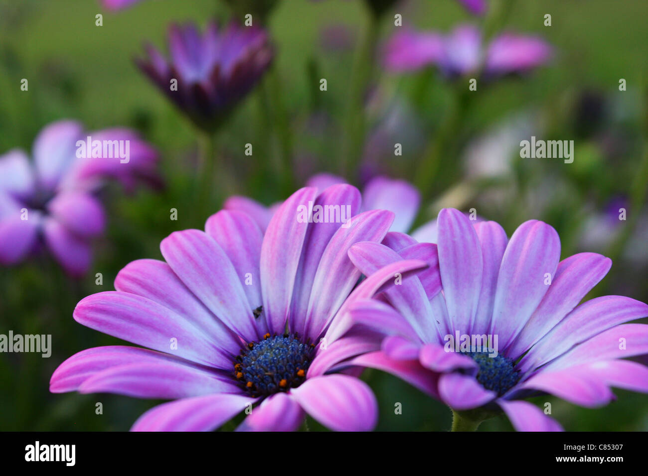 Purple daisy flowers stock photos purple daisy flowers stock purple daisy flowers stock image izmirmasajfo