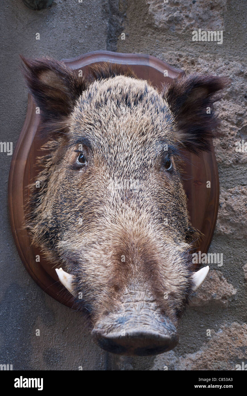 Stuffed wild boar's head mounted on wooden plaque hanging on wall outside store in Orvieto, Umbria, Italy. - Stock Image