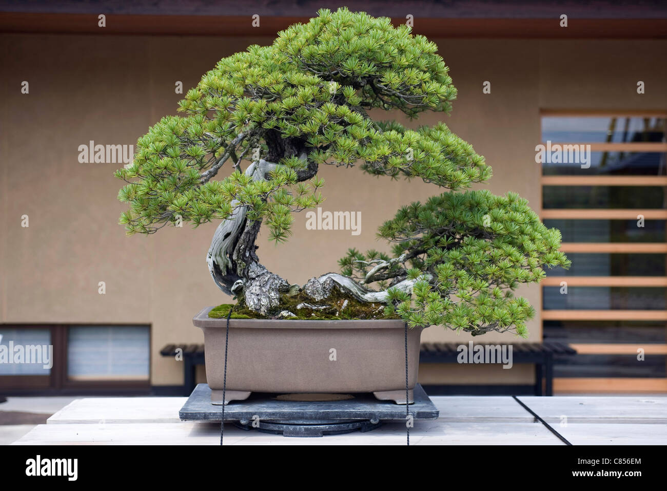 Photo shows 'Higurashi', a highly valued Japanese five-needled pine on display at the Saitama Omiya Bonsai - Stock Image