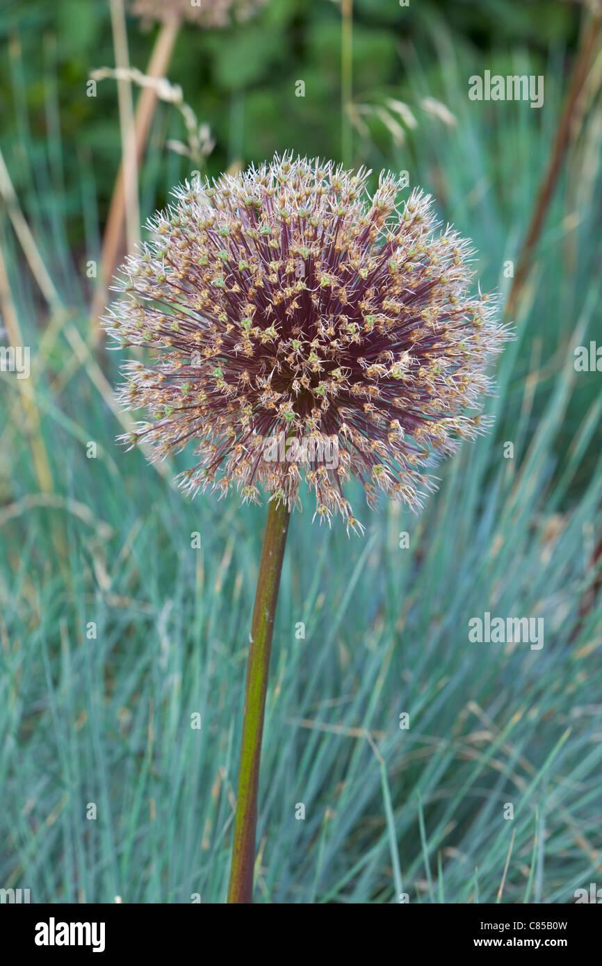 Fading Allium hollandicum ,England. - Stock Image