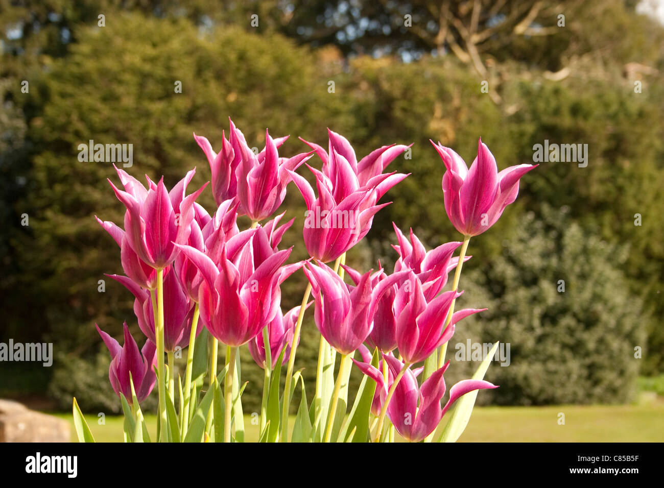 Tulip pink magenta bright back sun behind lit head flower bunch group stems leaves leaf vibrant vivid - Stock Image
