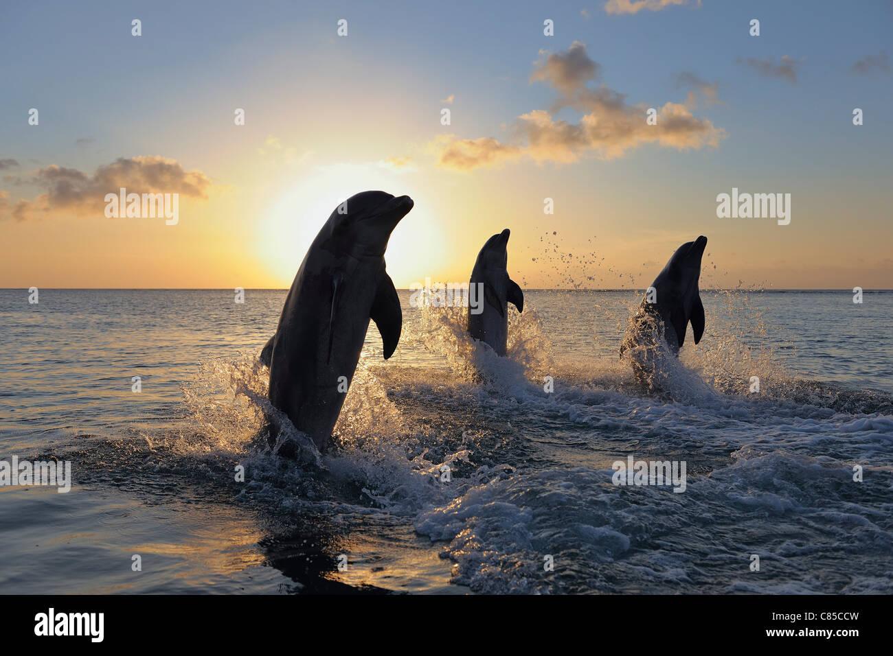 Common Bottlenose Dolphins Jumping in Sea at Sunset, Roatan, Bay Islands, Honduras Stock Photo