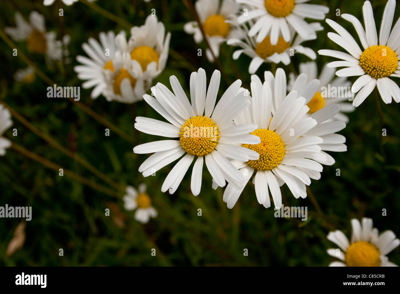 Daisy Close Up Single Head Bloom Flower Petals White Yellow Centre