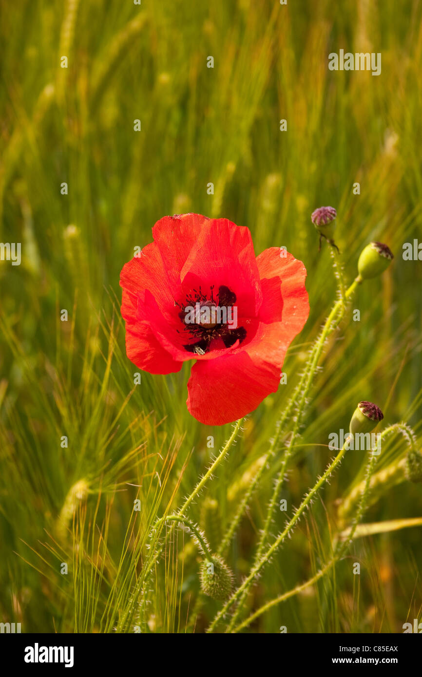 red poppy single 1 field flower green crop summer stem stalk solitude solitary grow single middle alone isolated - Stock Image