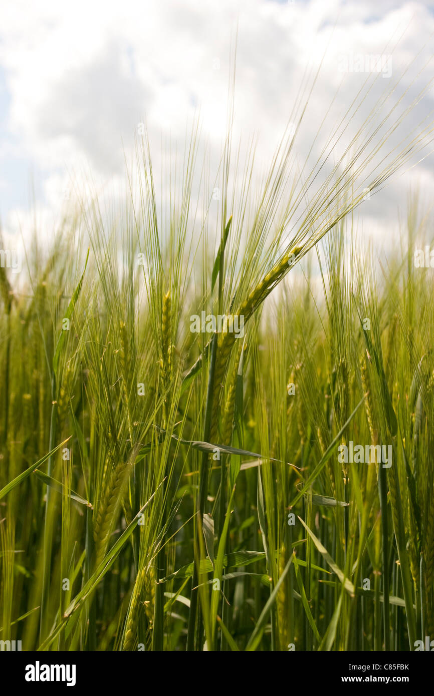 Barley Close Up Green Unripe Stem Stalk Crop Cereal Farm
